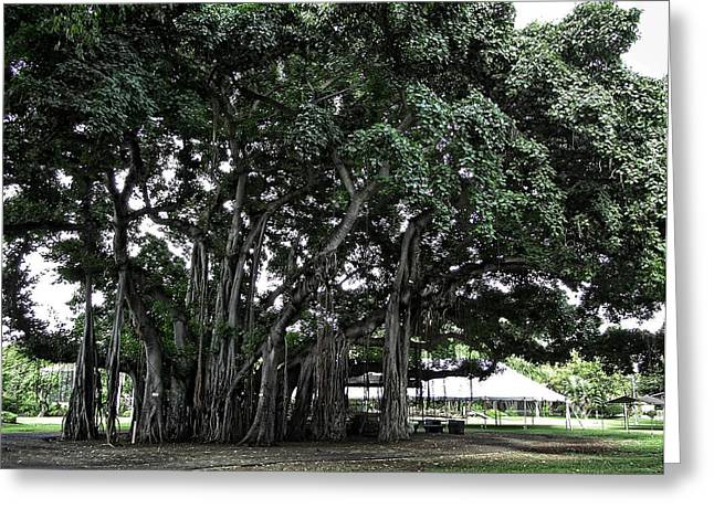 """spreading Tree"" Greeting Cards - Honolulu Banyan Tree Greeting Card by Daniel Hagerman"