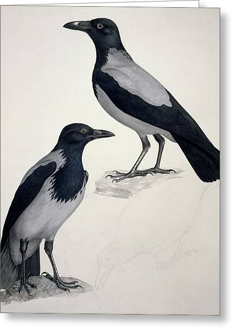 Two Crows Greeting Cards - Hooded crows, 19th century artwork Greeting Card by Science Photo Library