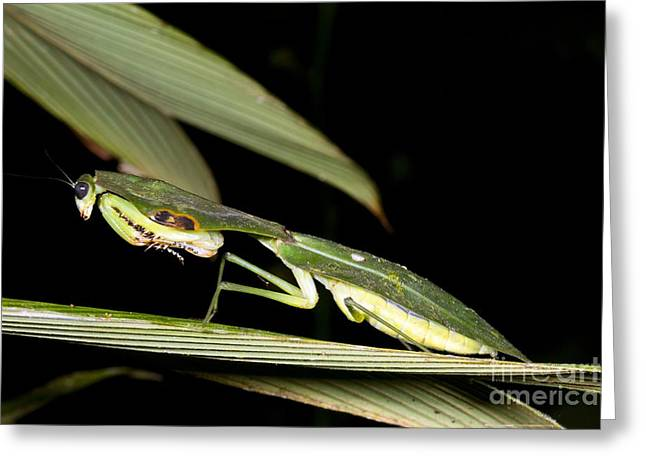 Hooded Mantis Greeting Card by Dr Morley Read