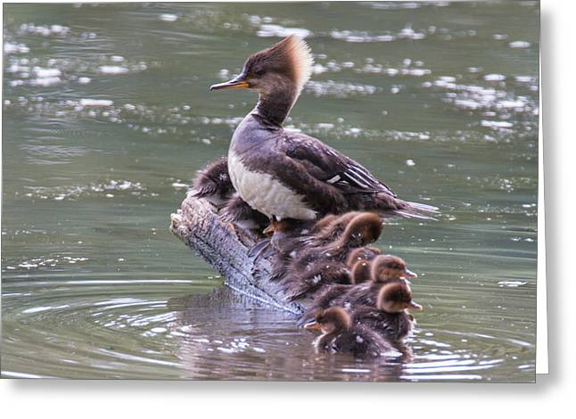Ducklings Greeting Cards - Hooded Merganser Family Greeting Card by Angie Vogel