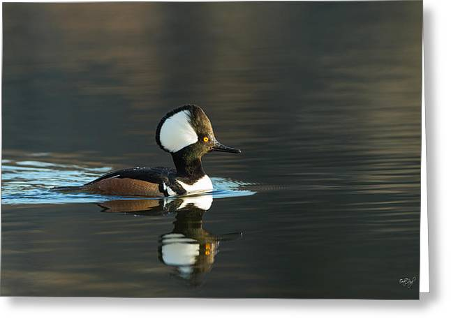 Diving Greeting Cards - Hooded Merganser in spring Greeting Card by Everet Regal