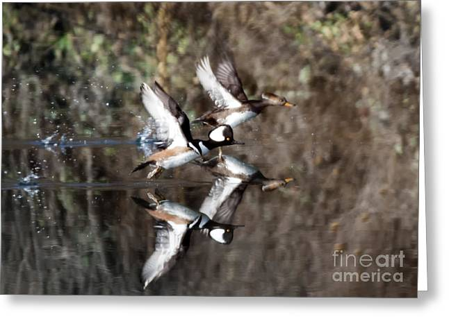 Hood Greeting Cards - Hooded Merganser Mirror Greeting Card by Mike Dawson