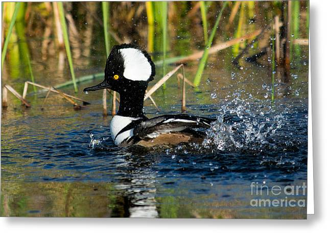 Dot Pyrography Greeting Cards - Hooded Merganser Splashing Greeting Card by Michael Bennett