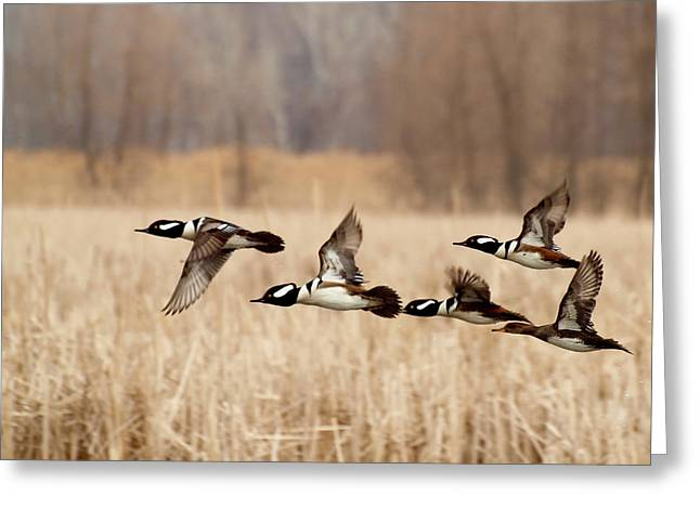 Flocks Of Ducks Greeting Cards - Hooded Mergansers in Flight Greeting Card by Thomas Young