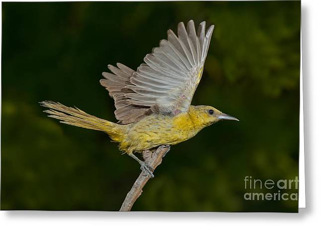 Arizona Wildlife Greeting Cards - Hooded Oriole Hen At Take Greeting Card by Anthony Mercieca