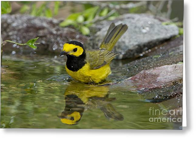 Setophaga Greeting Cards - Hooded Warbler Bathing Greeting Card by Anthony Mercieca