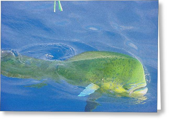 Bull Dolphin Greeting Cards - Hooked Greeting Card by Roberta Dunn