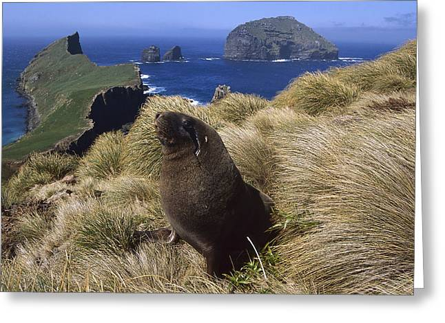 Sea Lions Greeting Cards - Hookers Sea Lion Bull In Grass Auckland Greeting Card by Tui De Roy