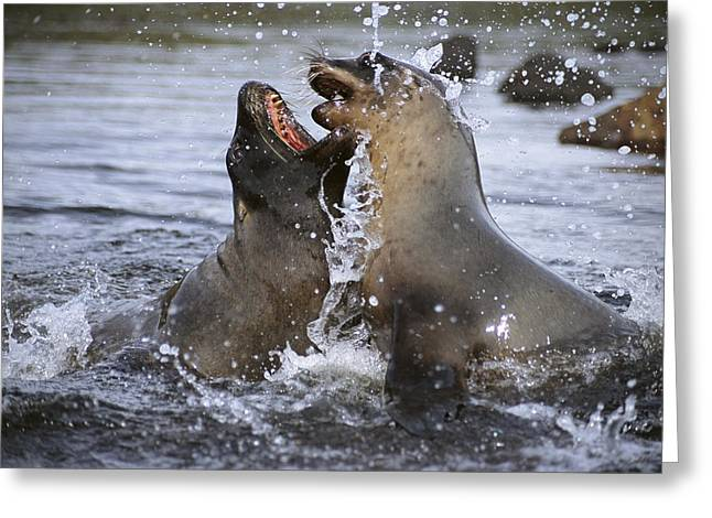 Sea Lions Greeting Cards - Hookers Sea Lion Cow And  Bull Sparring Greeting Card by Tui De Roy