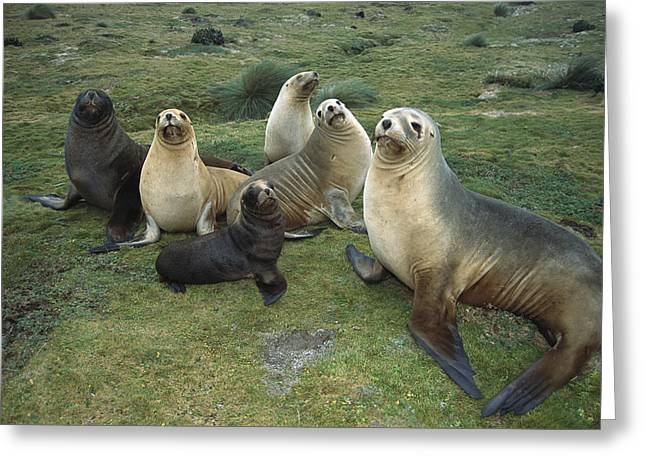 Sea Lions Greeting Cards - Hookers Sea Lion Cows And Pups Greeting Card by Tui De Roy