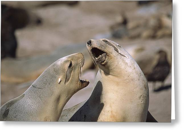 Sea Lions Greeting Cards - Hookers Sea Lion Females Fighting Greeting Card by Tui De Roy