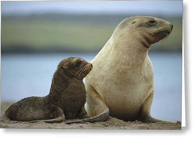 Sea Lions Greeting Cards - Hookers Sea Lion Mother And Pup Greeting Card by Tui De Roy