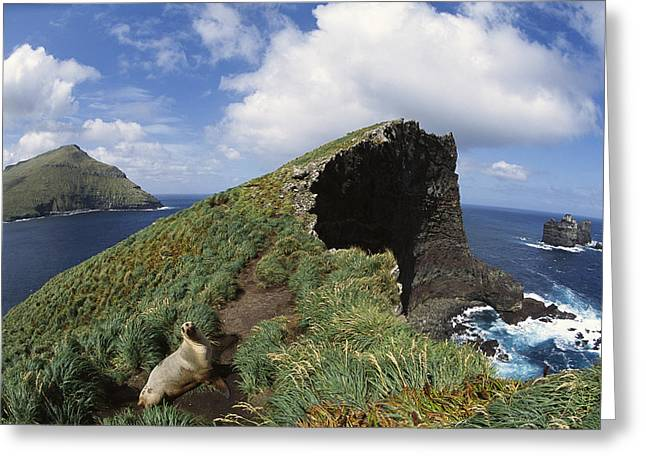 Sea Lions Greeting Cards - Hookers Sea Lion On Cliffs Edge Greeting Card by Tui De Roy