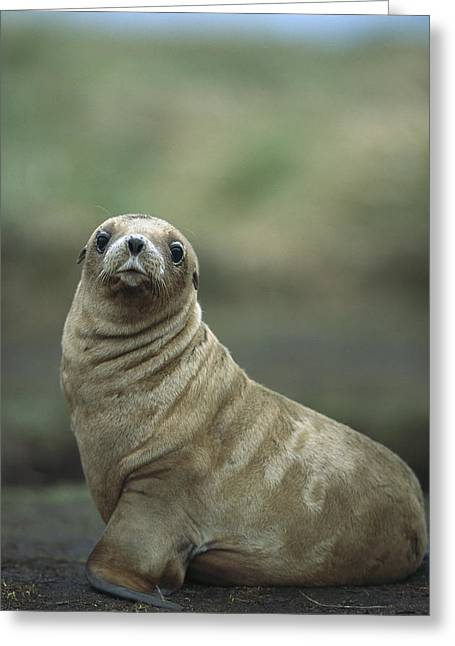 Sea Lions Greeting Cards - Hookers Sea Lion Pup Enderby Island Greeting Card by Tui De Roy