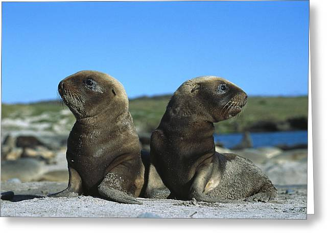 Sea Lions Greeting Cards - Hookers Sea Lion Pups Playing Enderby Greeting Card by Tui De Roy
