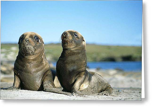 Sea Lions Greeting Cards - Hookers Sea Lion Young Pups Playing Greeting Card by Tui De Roy