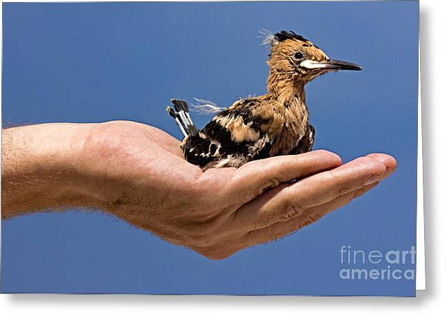 Pet Therapy Greeting Cards - Hoopoe Greeting Card by Rossana Coviello