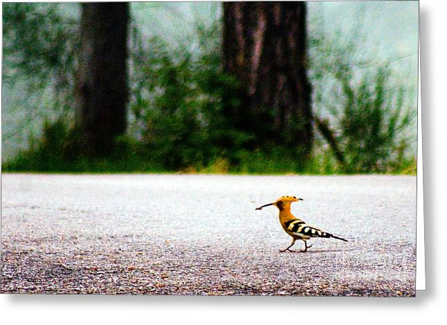 Senegal Greeting Cards - Hoopoe Greeting Card by Tim Holt