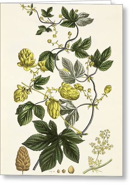 Hop Drawings Greeting Cards - Hop Vine From The Young Landsman Greeting Card by Matthias Trentsensky