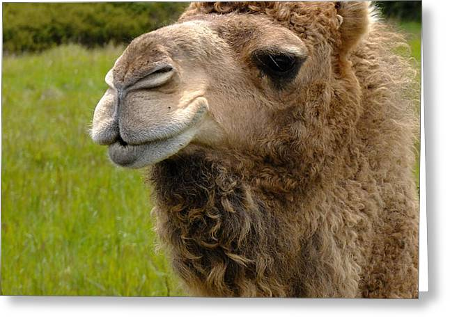 Dromedary Greeting Cards - Hopeful Camel Greeting Card by Kae Cheatham