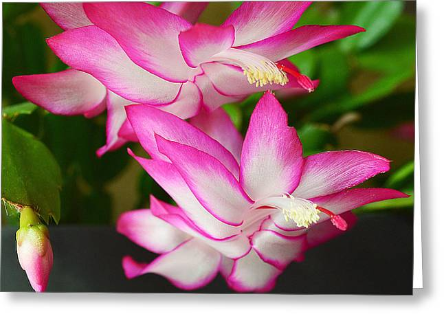 Winter Blooming Houseplant Greeting Cards - Hopeful for you Greeting Card by Felicia Tica