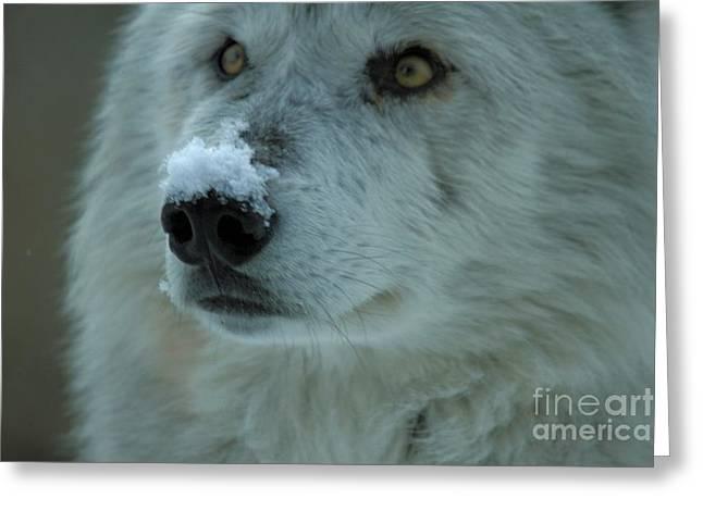Alpha Wolf Greeting Cards - Hopeful Gaze Greeting Card by Adam Jewell