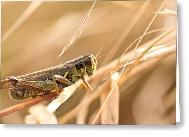 Grasshoppers Greeting Cards - Hopper in Golden Grass Greeting Card by Shane Holsclaw
