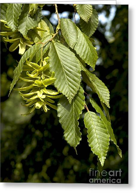 Weeping Greeting Cards - Hornbeam Greeting Card by Gregory G. Dimijian, M.D.