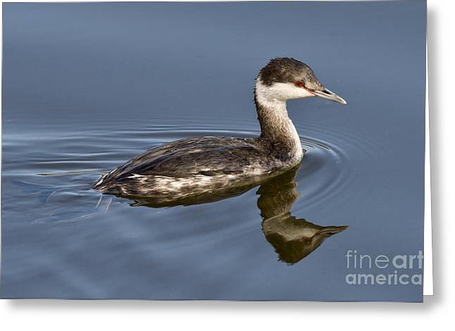 Reflection In Water Greeting Cards - Horned Grebe Greeting Card by Anthony Mercieca