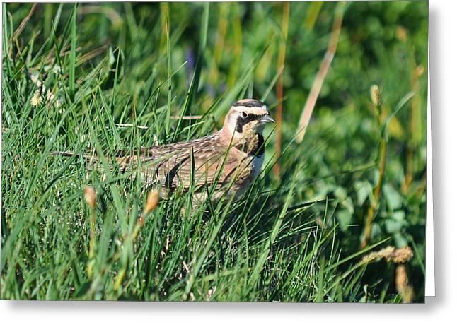 Horned Larks Greeting Cards - Horned Lark Lingers in the Meadow Greeting Card by Donna Van Renselaar