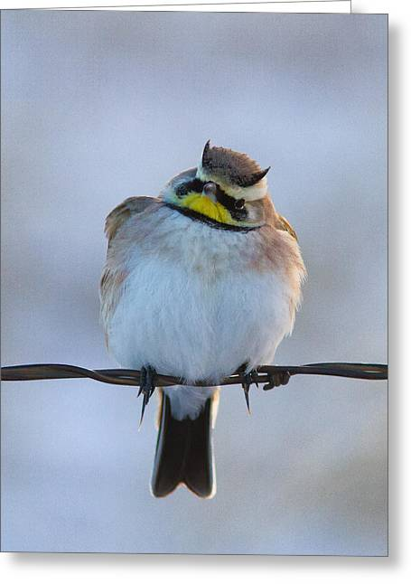 Horned Larks Greeting Cards - Horned Lark on Wire Greeting Card by Kurt Bowman
