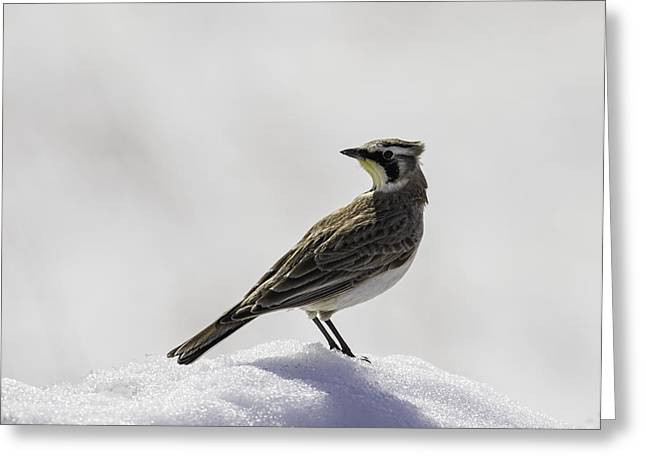 Buena Vista Grasslands Greeting Cards - Horned Lark Portrait Greeting Card by Thomas Young