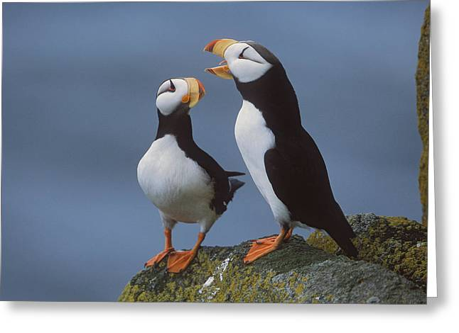 Ledge Photographs Greeting Cards - Horned Puffin Pair On Ledge With One Greeting Card by Milo Burcham