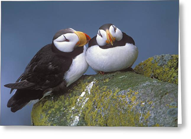Ledge Photographs Greeting Cards - Horned Puffin Pair Perched On Ledge Greeting Card by Milo Burcham