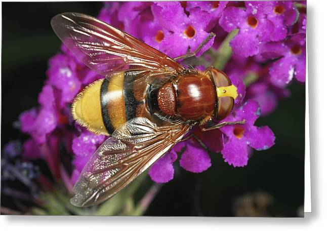 Eating Entomology Greeting Cards - Hornet mimic hoverfly Greeting Card by Science Photo Library