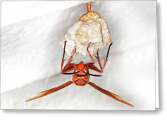 Hornet Preparing Paper Nest Greeting Card by Natural History Museum, London