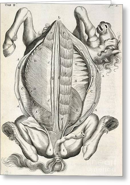 Snape Greeting Cards - Horse Anatomy, 17th-century Artwork Greeting Card by British Library