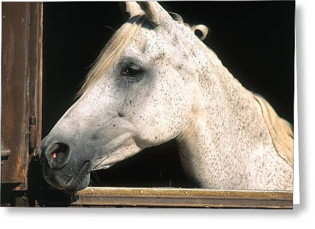 Barn Yard Greeting Cards - Horse Greeting Card by Hans Reinhard