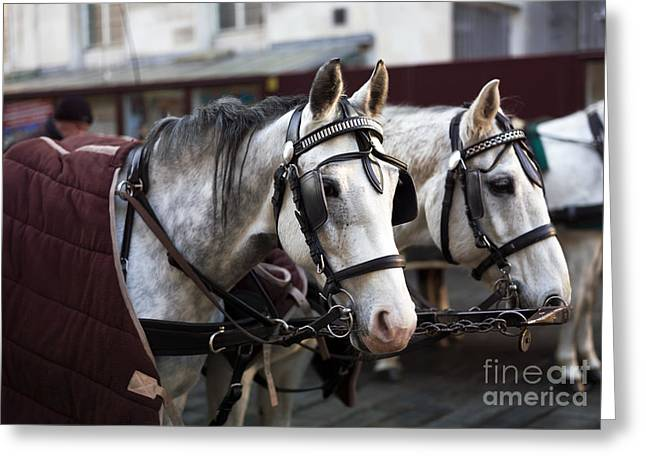 Horse Images Greeting Cards - Horse Portrait in Vienna Greeting Card by John Rizzuto