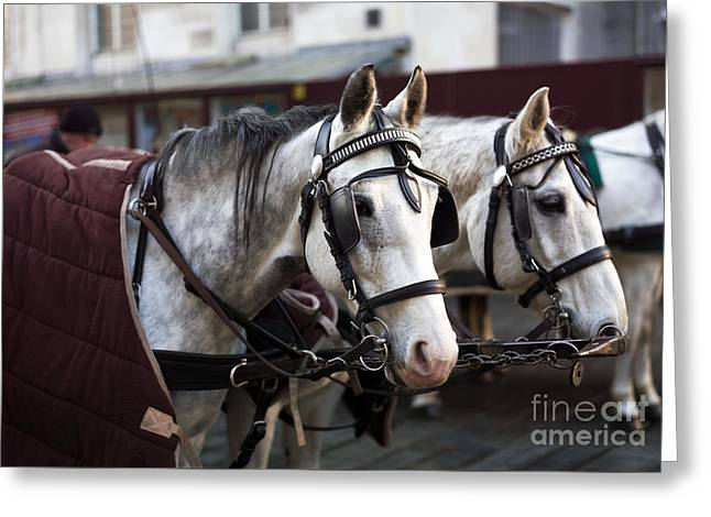 Horse Portrait In Vienna Greeting Card by John Rizzuto