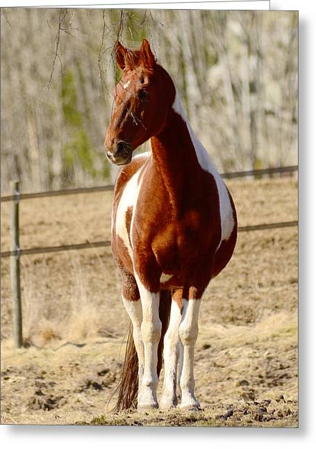 Sight See Greeting Cards - Horse posing Greeting Card by Toppart Sweden