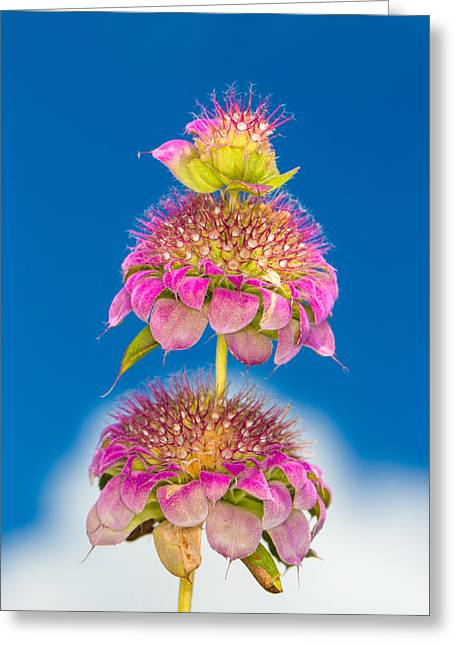 Horsemint Greeting Cards - Horsemint Flower Tiers Against Clouds and Sky Greeting Card by Steven Schwartzman