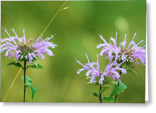 Horsemint Greeting Cards - Horsemint Flowers At Lapham Peak Greeting Card by Jeanette Fellows
