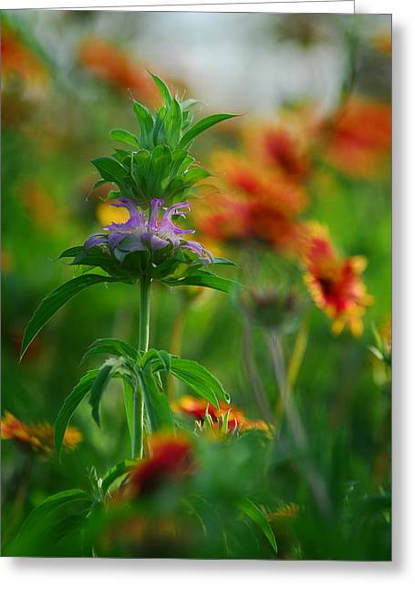 Horsemint Greeting Cards - Horsemint Greeting Card by Tracy Smith