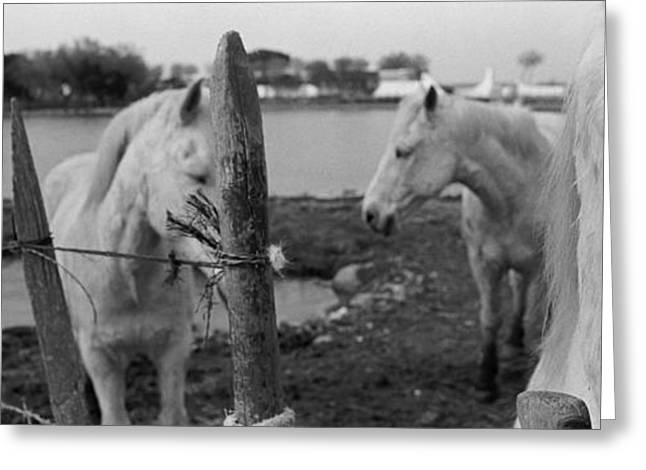 Corral Greeting Cards - Horses, Camargue, France Greeting Card by Panoramic Images