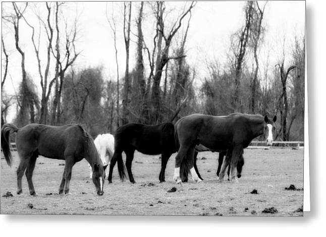 Gnarly Greeting Cards - Horses Grazing in Black and White Greeting Card by Aurelio Zucco