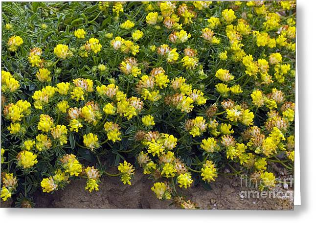 Vetch Greeting Cards - Horseshoe Vetch (hippocrepis Comosa) Greeting Card by Dr Keith Wheeler
