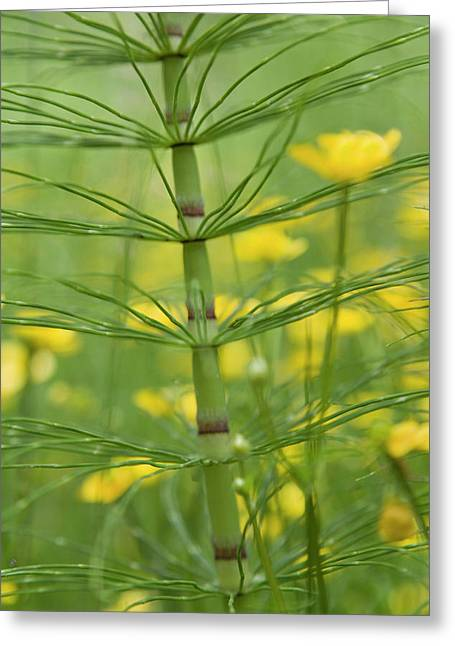 Horsetail Plant And Buttercup Flowers Greeting Card by Jaynes Gallery