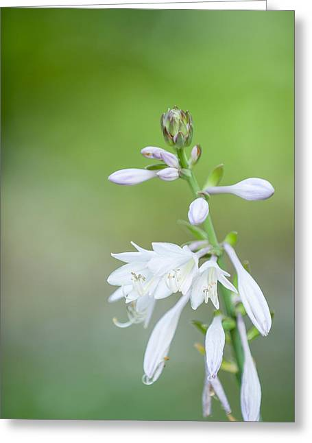 Hostas In Bloom Greeting Cards - Hosta bloom Greeting Card by Jeff Tureaud