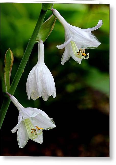 Hostas Greeting Cards - Hosta Blooms Greeting Card by Michael Eingle